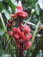 Bananowiec różowy