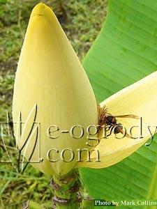 BananowiecThai Gold
