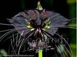 Krępla, Kwiat Nietoperzowy