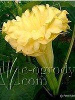Bieluń surmikwiat Golden Queen