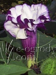 Bieluń surmikwiat Purple Queen