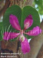 Storczykowiec purpurowy