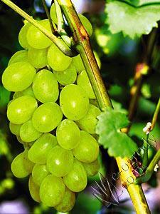 Winorośl Fruit de Soleil
