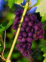 Winorośl Lidia