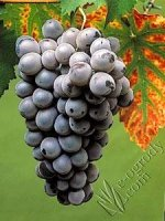 Winorośl Peage