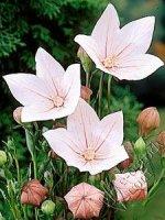 Rozwar wielkokwiatowy Shell Pink