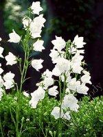 Dzwonek brzoskwiniolistny biały