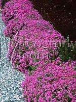Płomyk szydlasty Atropurpurea