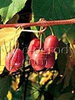 Kiwi Hardy Red