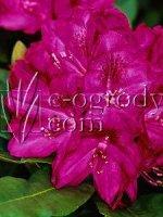 Różanecznik Catawbiense Grandiflorum