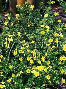 Pięciornik krzewiasty żółty