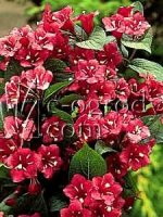 Krzewuszka cudowna Bristol Ruby