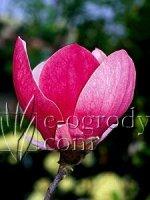 Magnolia pośrednia Lennei