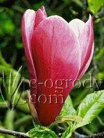 Magnolia purpurowa Nigra