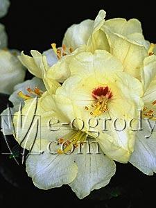 Rododendron Goldbukett