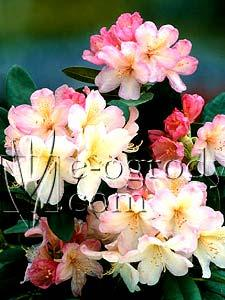Rododendron Persy Wiseman