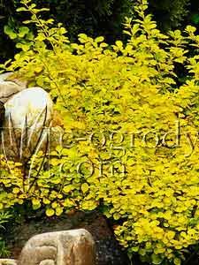 Berberys thunberga Aurea