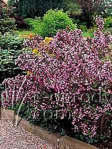 Weigela purpurowa