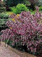 Weigela purpurowa