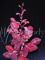 Berberys Rose Glow