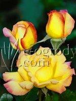 Róża Gloria Dei