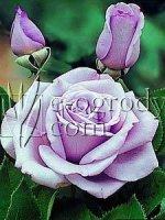 Róża Pasion