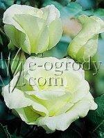 Róża Liz