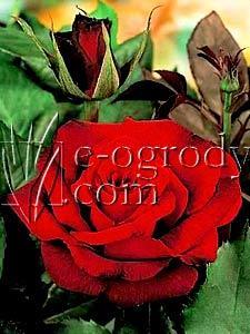 Róża Oklahoma