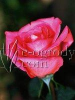 Róża Lucia Nistler