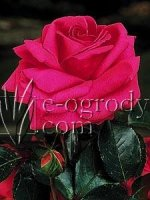 Róża Cretorium