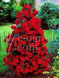 Róża Shalom