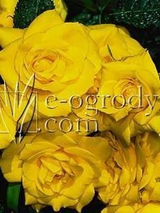 Róża Goldbeck