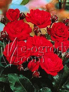 Róża Nina Weibull