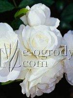Róża Kristal