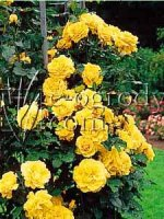 Róża Goldfassade