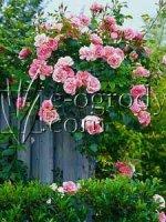 Róża New Dawn