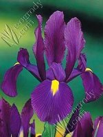 Irys Purple Sensation