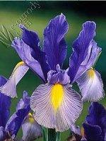 Irys Gipsy Beauty