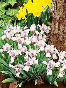 Irys niski biało - fioletowy