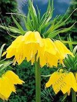 Szachownica cesarska Lutea Fritillaria imperialis Lutea