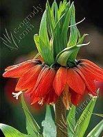 Szachownica czerwona Maxima Fritillaria Rubra Maxima