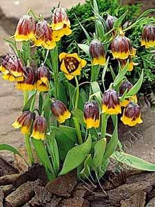 Szachownica Małachowskiego Fritillaria Michailovskyi