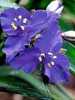 Trzykrotka ciemno-fioletowa