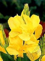 Paciorecznik Yellow Humbert