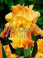 Irys bródkowy pomarańczowy