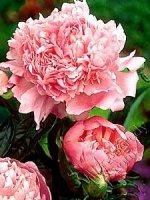 Piwonia Sarah Bernhardt