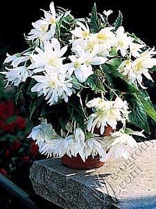 Begonia kaskadowa biała