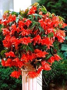 Begonia kaskadowa czerwona