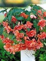 Begonia kaskadowa pomarańczowa