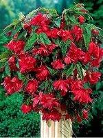 Begonia kaskadowa różowa